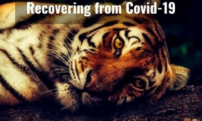 Indonesia: Two rare Sumatran tigers recovering after catching Covid-19
