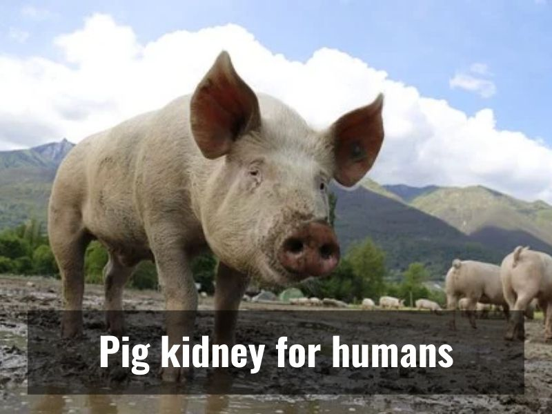 Pig Kidney works in human for 1st time